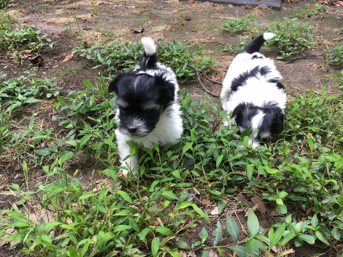 Paris and Mason puppies.